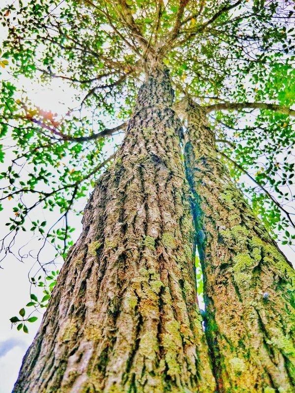 Bark tree Garden Nature Sunlight Outdoors Native Plant Agriculture Organic Foods Fruits Freshness No People Tropical Plants Tropical Flowers Aisan Green Leaves Green Color Eyes EyeEm Ornamental Garden Textured