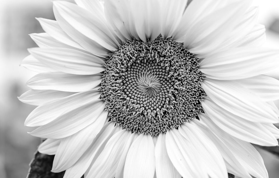 Beautiful stock photos of sunflower, Beauty In Nature, Blooming, Botany, Close-Up