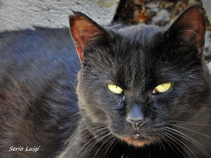 Domestic Cat Blackcatlove Portraitofanimal