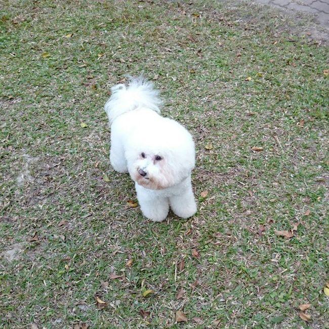Lisa不知道看到什麼❔ 比熊 比熊犬 寵物 Bichon Bichonfrise Puppy Dog ビション ビションフリーゼ