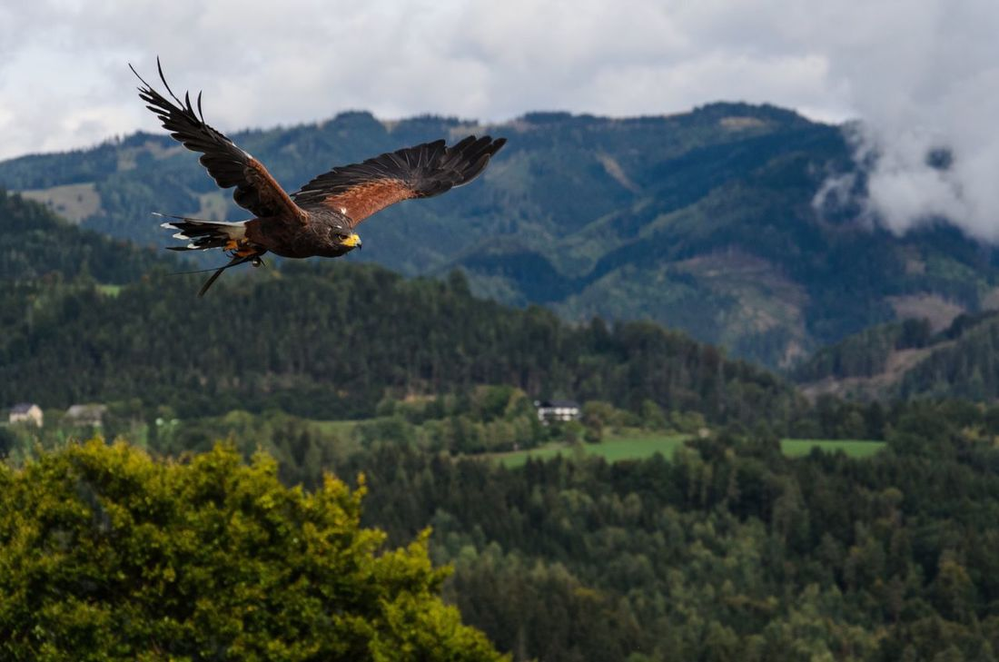 Milan Flying Spread Wings Bird Of Prey Bird One Animal No People Animals In The Wild Mountain Outdoors Animal Themes Day Nature Beauty In Nature Milan