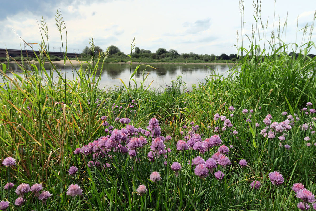 Chives growing on Elbe river and its typical meadows in summer time. located next to Tangermuende, Saxony-Anhalt (Germany) Chive Chive Flower Chives Chives Blossom Chives Herbs Elbe Elbe River Flower Flower Head Grass Green Color Growth Herb Lake Nature No People Outdoors Plant Schnittlauch Schnittlauch Blüte Spice Tangermünde Tranquil Scene Tranquility Water