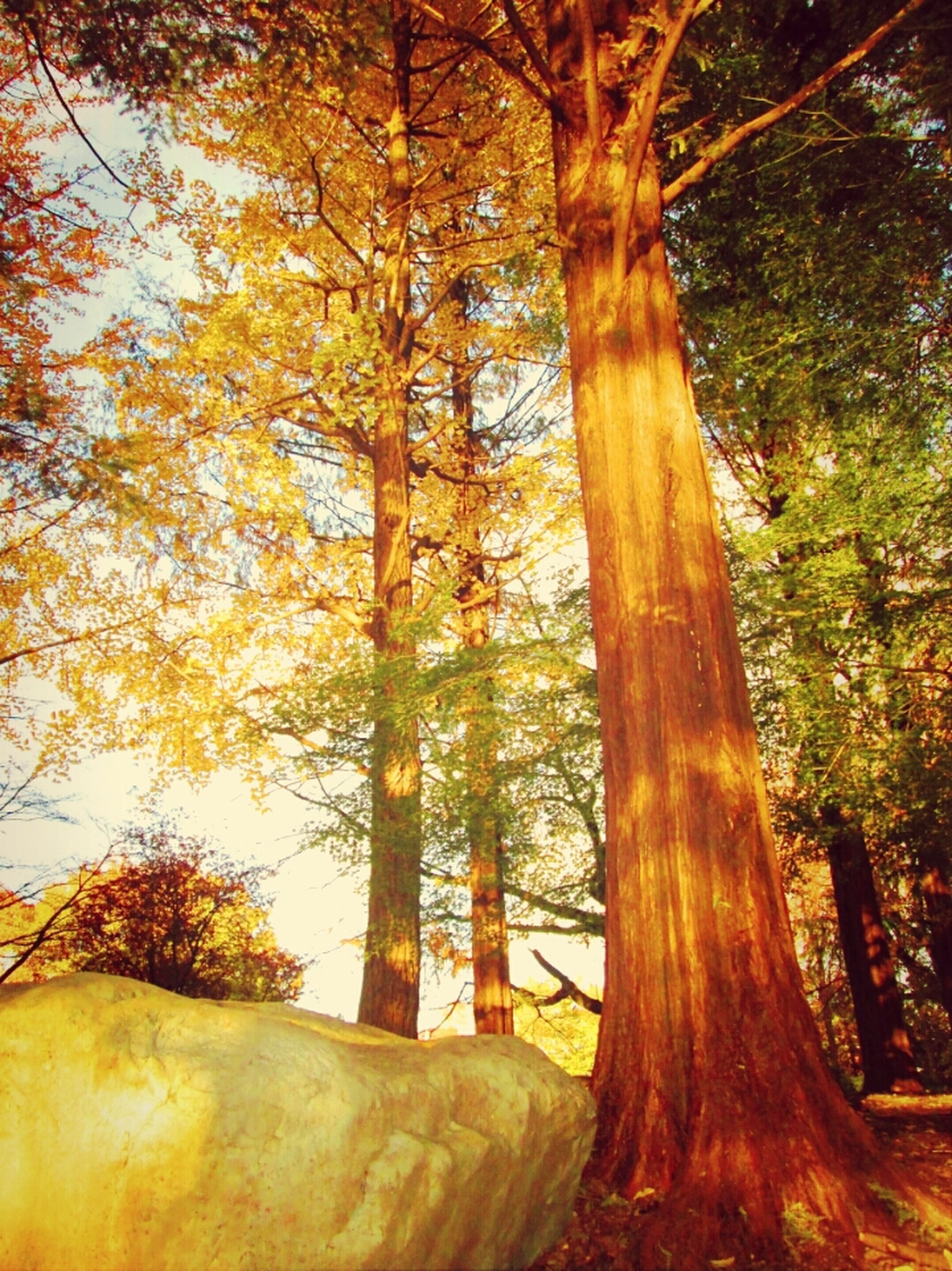 tree, tree trunk, forest, tranquility, growth, branch, woodland, nature, tranquil scene, beauty in nature, scenics, sunlight, non-urban scene, low angle view, outdoors, autumn, no people, day, idyllic, leaf