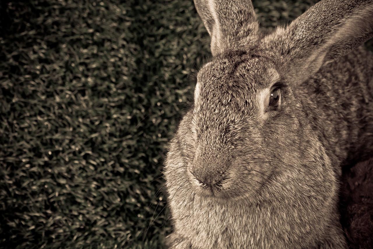 Animal Themes Animal Wildlife Close-up Mammal Nature No People One Animal Rabbit Rabbit - Animal Rabbit ❤️ Rabbit 🐇