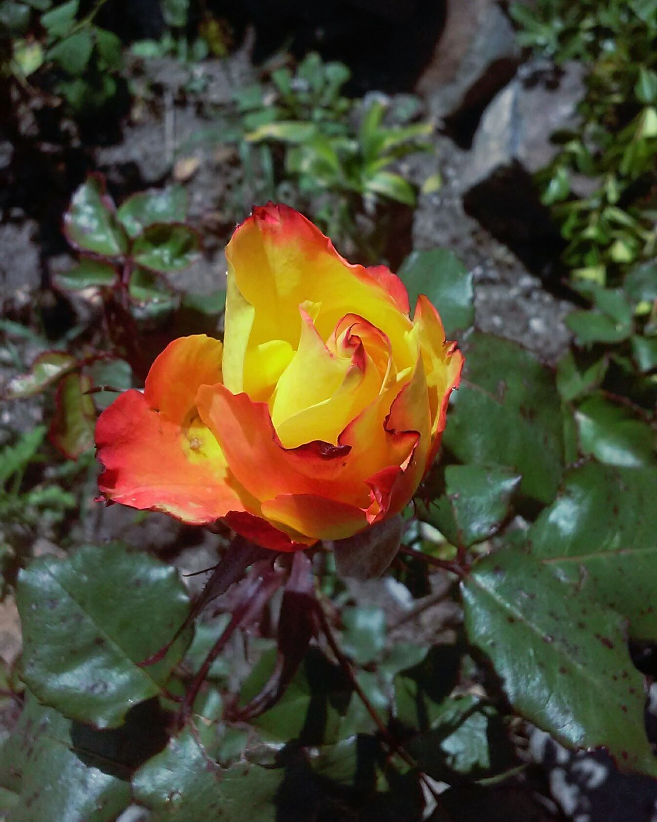 Rosebud Red Orange Yellow Beautiful Colour Combination Beautiful ♥ Bright Colors Only One