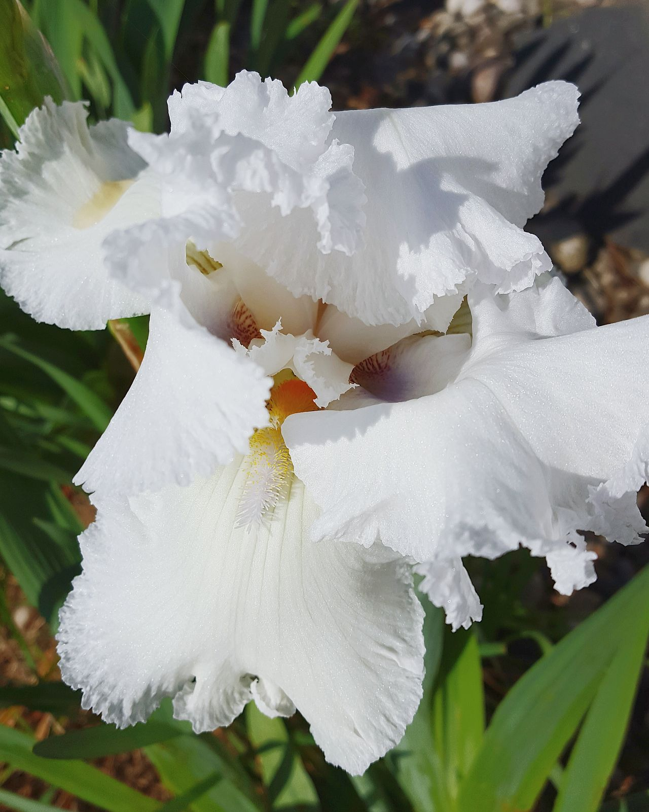 Check This Out Iris Flower Dowling, Mi EyeEm Nature Lover Flowers, Nature And Beauty Pure Michigan