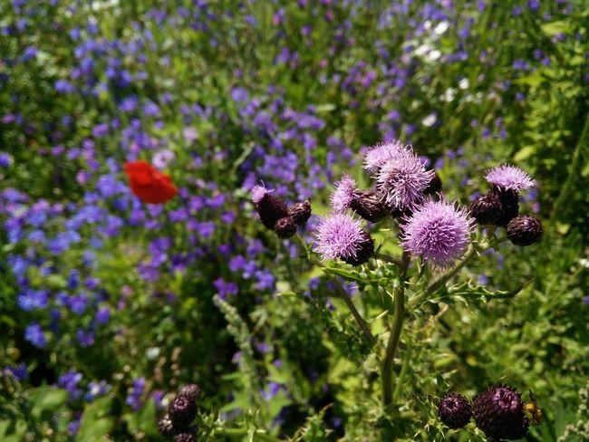 Thistles Thistle Flower Distelblüte Wild Flower Beauty Wildblumenwiese Sommerblüte Summer Mood Hochsommer Disteln