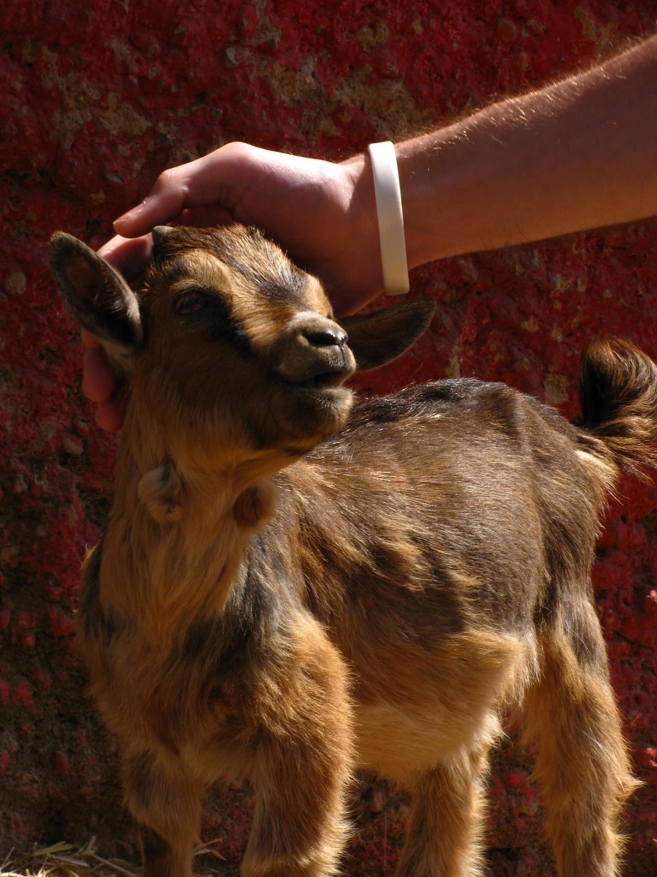 Beautiful stock photos of goat, Animal Themes, Day, Domestic Animals, Goat
