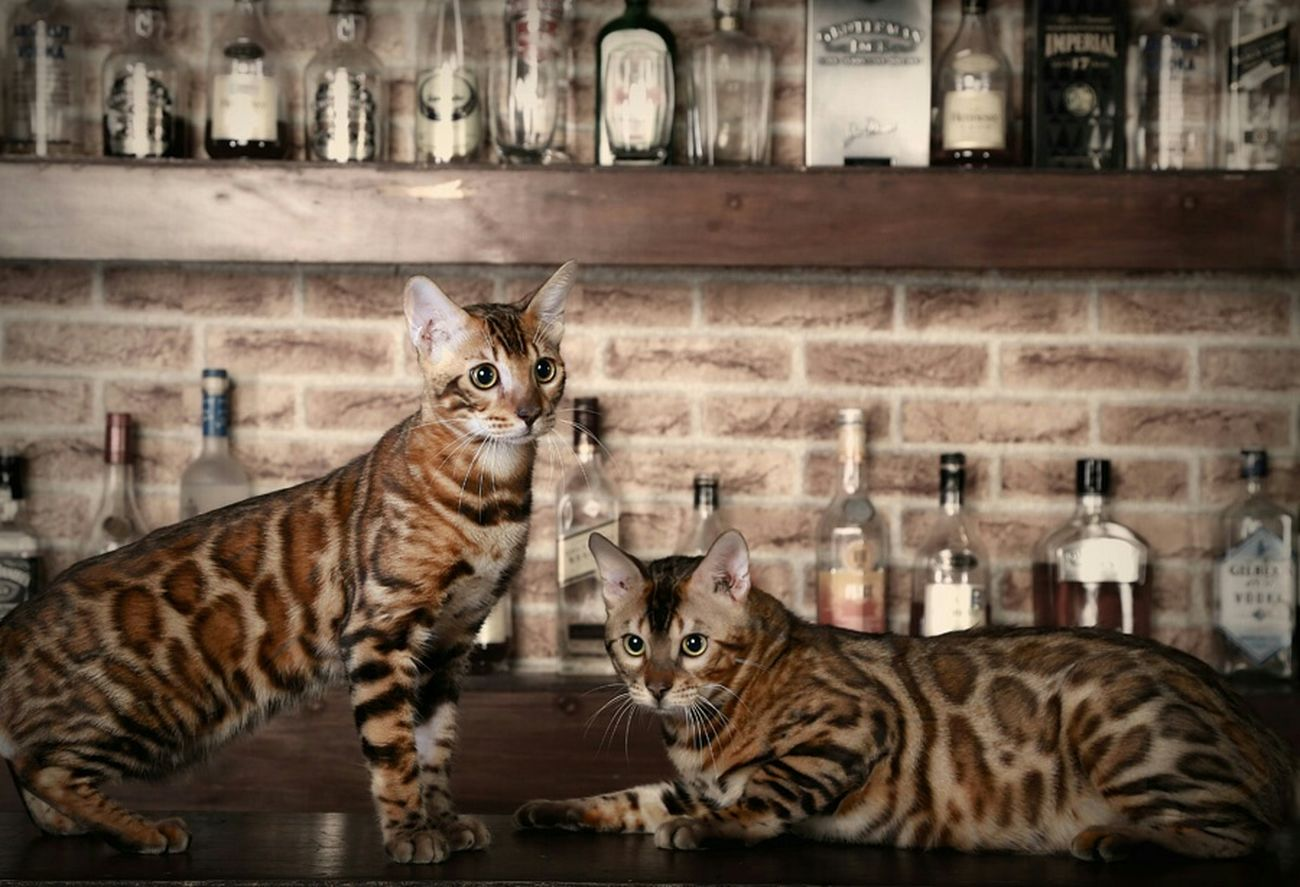 Pets My Cats Bengal Cat Cute Pets EyeEm Indonesia Petstagram EyeEm Animal Lover Pet Photography  Animal Meow
