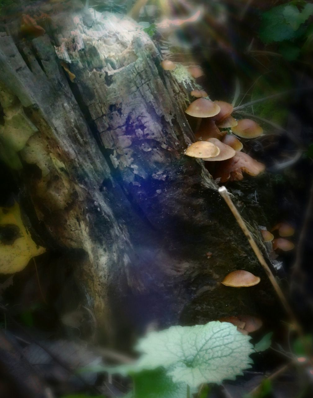 nature, beauty in nature, fungus, growth, close-up, mushroom, no people, outdoors, toadstool, fragility, leaf, day, fly agaric, tree, freshness
