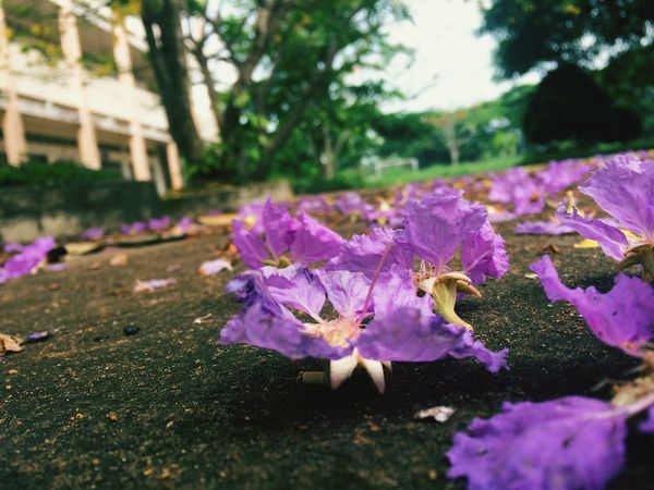 In sumer of Vietnam, we have a lot of beautiful flowers! It's so nice... example, poinciana, hopea odorata,... but the best special is Lagerstroemia speciosa. Meaning of it is love in sadness like the love has been splitted. Phuognhy Flower Nature Purple Beauty In Nature Tree Like4like Likesforlikes The Great Outdoors - 2017 EyeEm Awards The Great Outdoors - 2017 EyeEm Awards