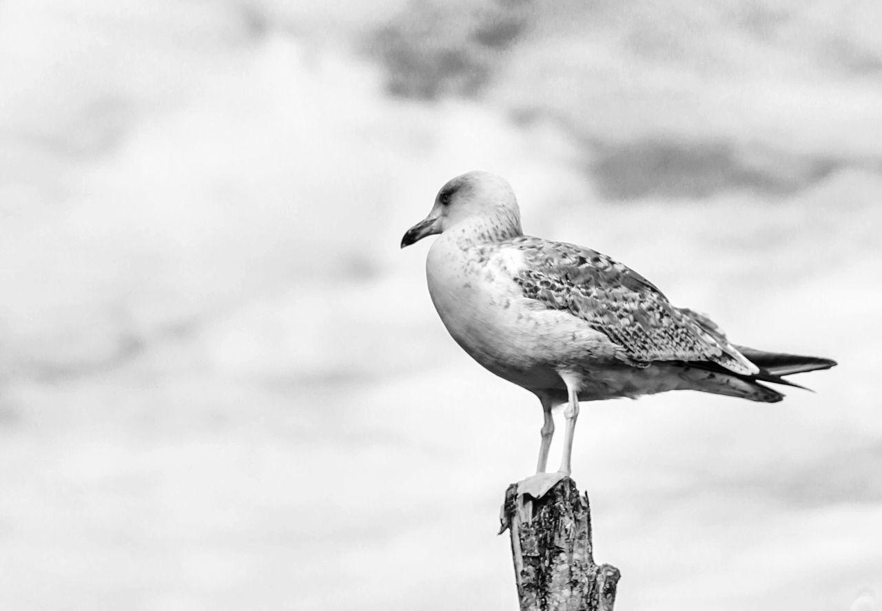 Beautiful stock photos of vogel, Animal Themes, Animal Wildlife, Animals In The Wild, Cloud - Sky