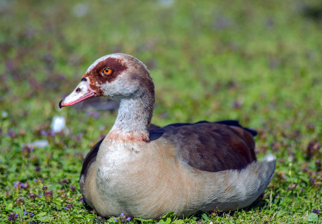 Animal Animal Head  Animal Photography Animal Themes Animals In The Wild Apufoto Beauty In Nature Bird Close-up Day Egyptian Goose Field Focus On Foreground Goose Grass Grassy Green Color Nature Nature Photography Naturelovers No People Outdoors Selective Focus Water Bird Wildlife
