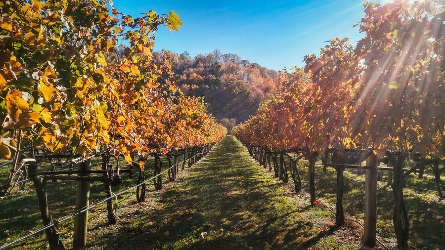 Winery Wine Wineyard Vinyard Virginia Virginia Wines Foliage Fall Fall Beauty Fall Colors Tree Nature Beauty In Nature No People Shenandoah National Park Place Of Heart