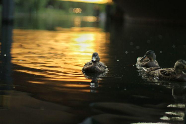 Animal Wildlife Water Reflection Lake Sunset Duck Duckface No People Evening