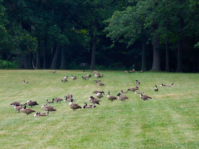 Grass Forest USA USAtrip USA Photos Fort Niagara State Park Youngstown Youngstown, Ny Animals Animal Photography Wildlife Wildlife & Nature Wildlife Photography Meadow Gooses Family Gooses Goose No People Trees