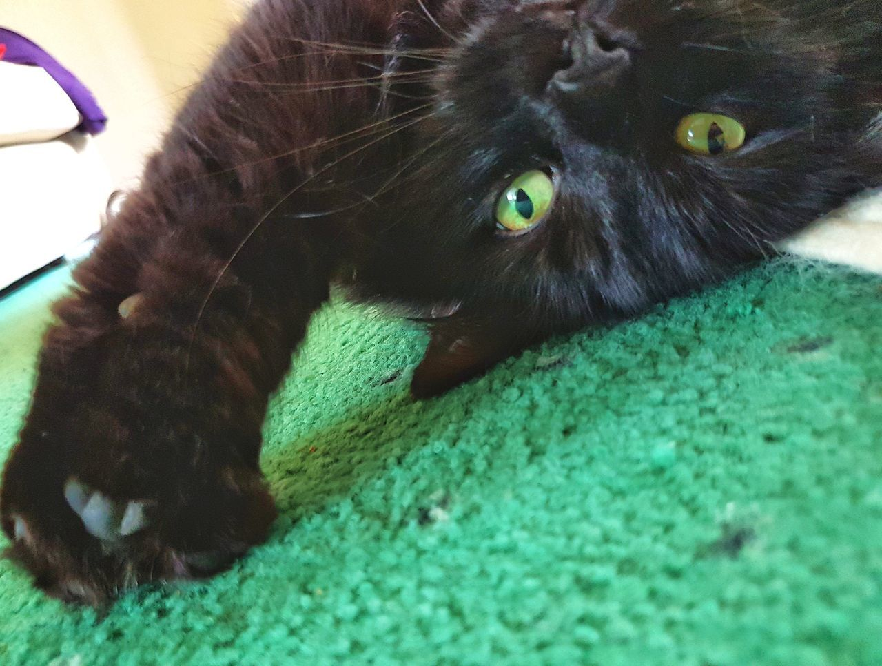 Here's looking at you Pets Domestic Animals One Animal No People Looking At Camera Cat Black Cats Are Beautiful Animal Themes Mammal Indoors  Portrait Home Interior Dog Close-up Day