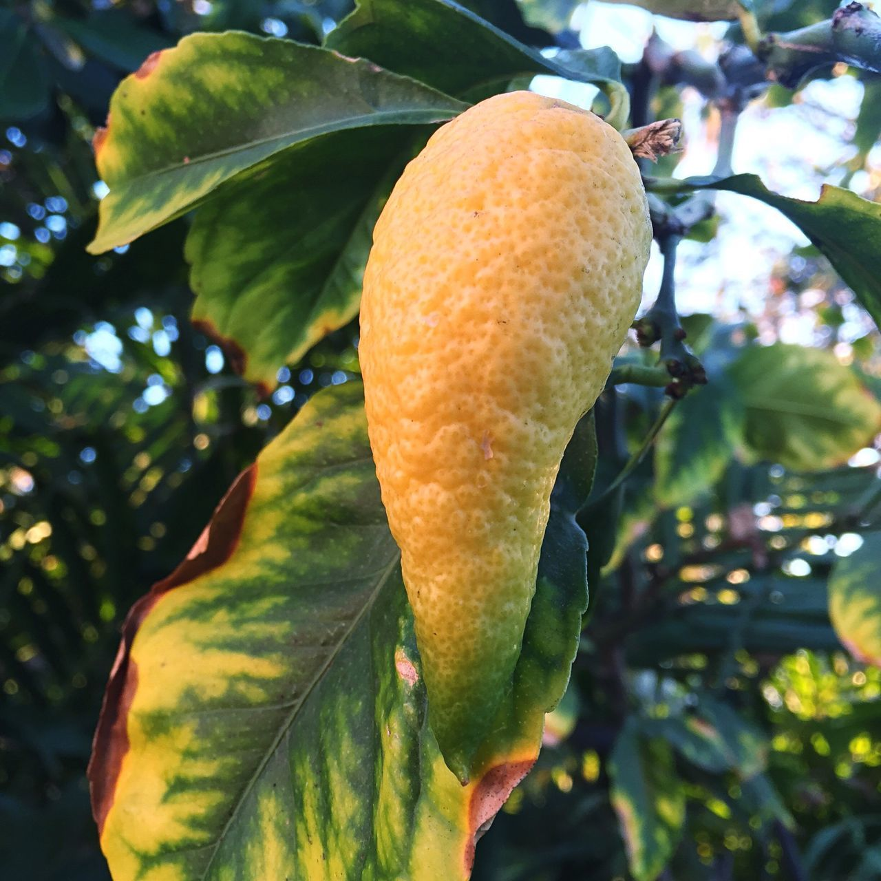 Lemon Tree Strange Fruit Weirdly Shaped Check This Out Roamography Leaves Lemon Green Yellow Vivid Colours  Backyardphotography Paint The Town Yellow