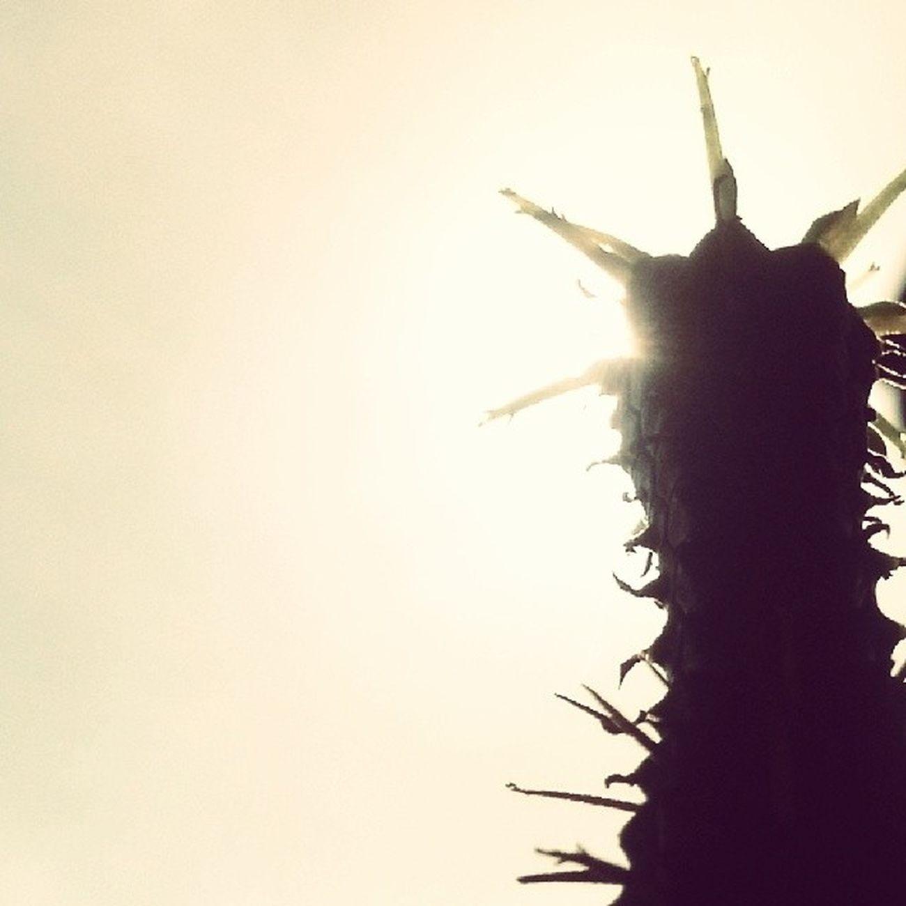 """""""Mi agguanto solo per sentirmi vivo al guscio della mia capigliatura"""" (cit.) Caparezza Lafittasassaioladellingiuria Sunshine Aculei plant"""