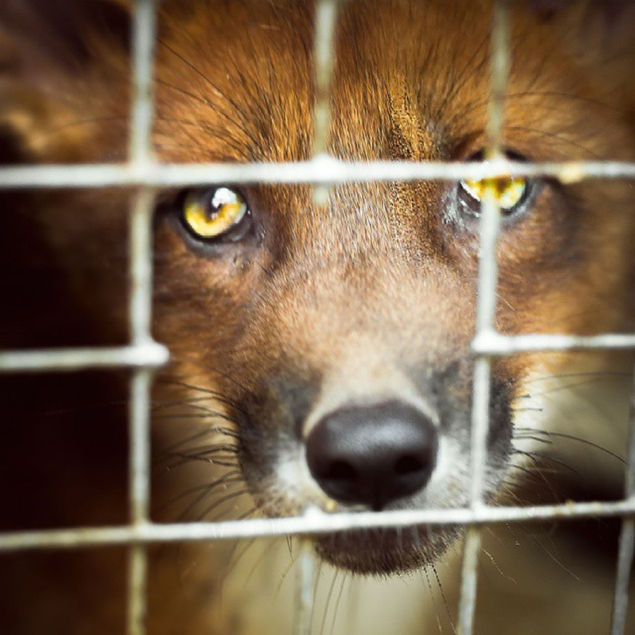 Fox Animals Wild Zoo Greenpeace Cotton лиса Лис Лисёнок рыжий лисица зверополис 2014 клетка мех зоопарк чудоостров хищник фотография