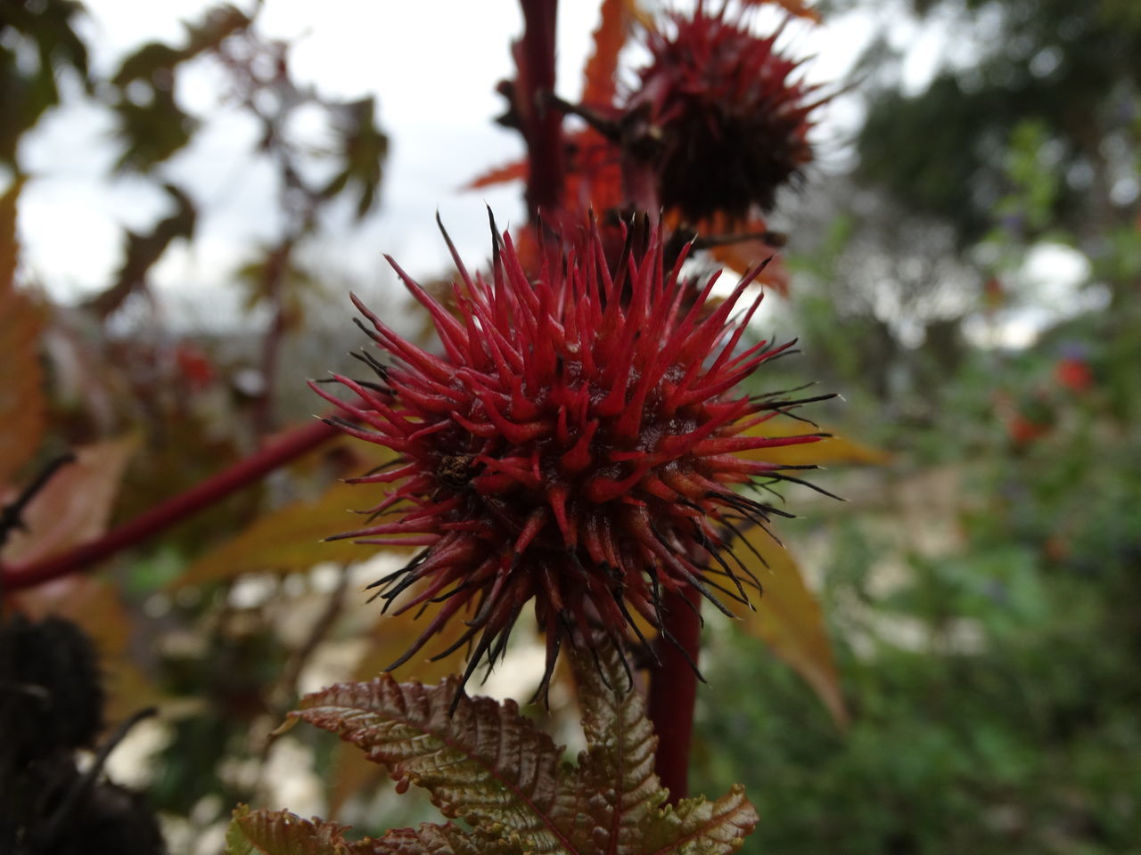 Beauty In Nature Close-up Day Flower Flower Head Fragility Freshness Growth Low Angle View Nature No People Outdoors Plant Red Spiky Tree