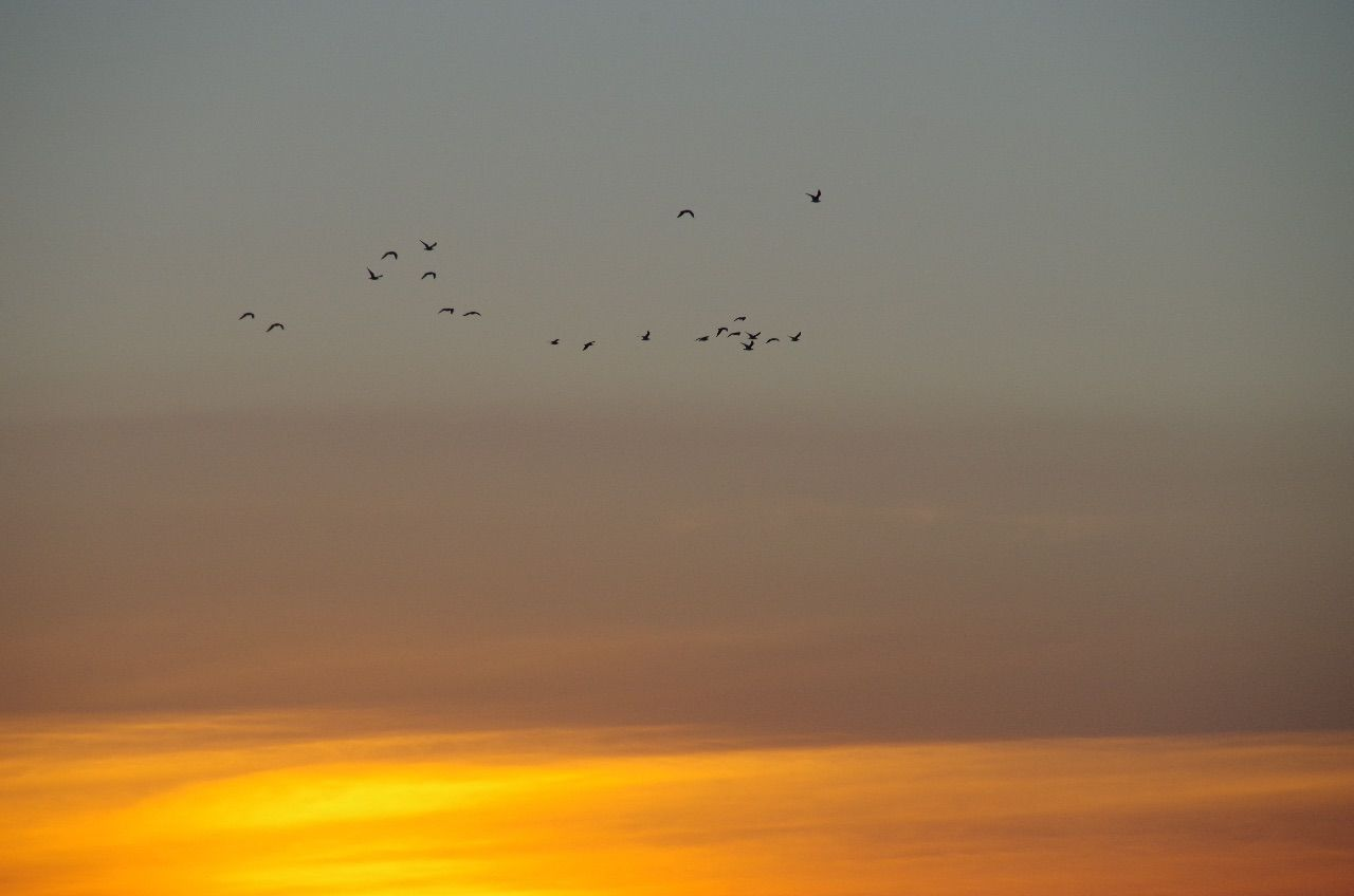 sunset, flying, bird, animals in the wild, beauty in nature, flock of birds, sky, nature, animal themes, large group of animals, migrating, scenics, animal wildlife, tranquility, silhouette, no people, outdoors, cloud - sky, mid-air, togetherness, day
