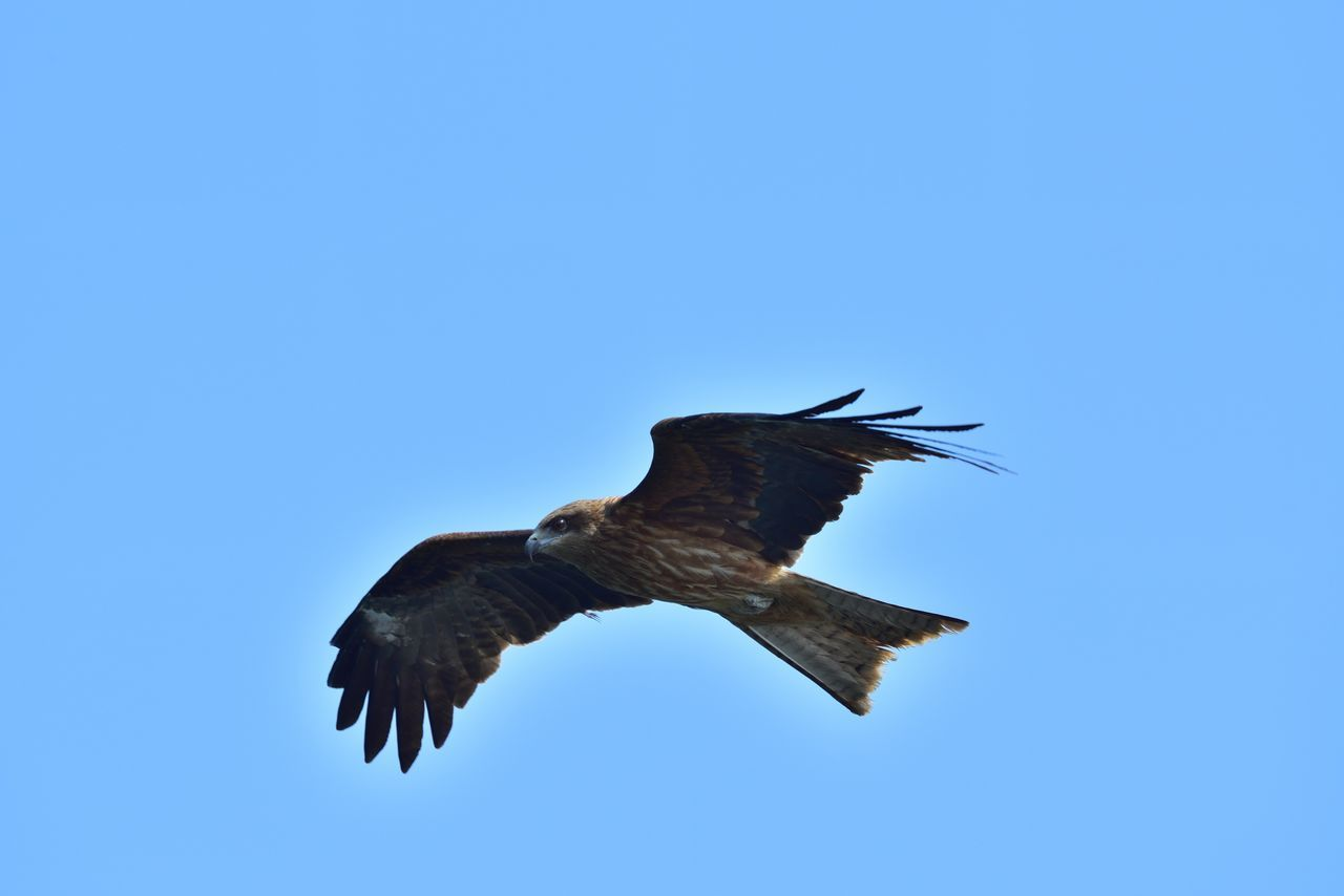 flying, bird, spread wings, animals in the wild, animal themes, one animal, clear sky, copy space, low angle view, mid-air, animal wildlife, nature, motion, no people, bird of prey, day, outdoors, blue, close-up, sky