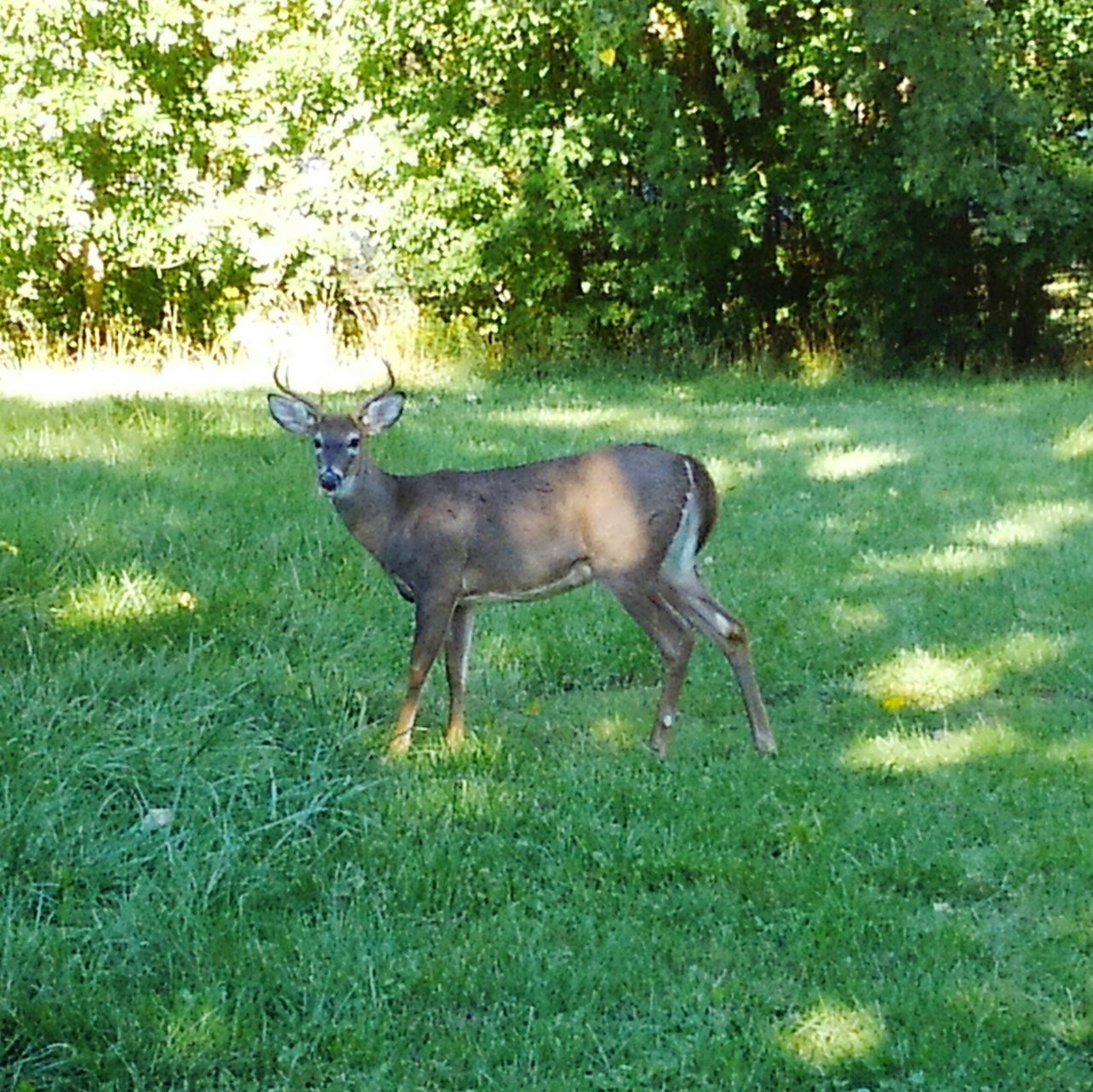 grass, animal themes, field, deer, nature, green color, growth, mammal, no people, day, outdoors, animals in the wild