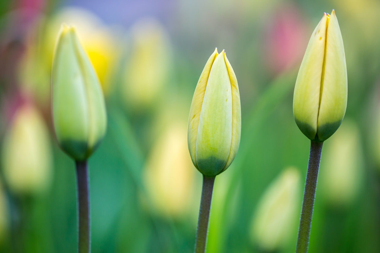 Backgrounds Beauty In Nature Close-up Colorful Day Flower Flower Head Focus On Foreground Fragility Freshness Green Color Growth Nature New Life No People Outdoors Petal Plant Spring Springtime Summer Tulip Tulips