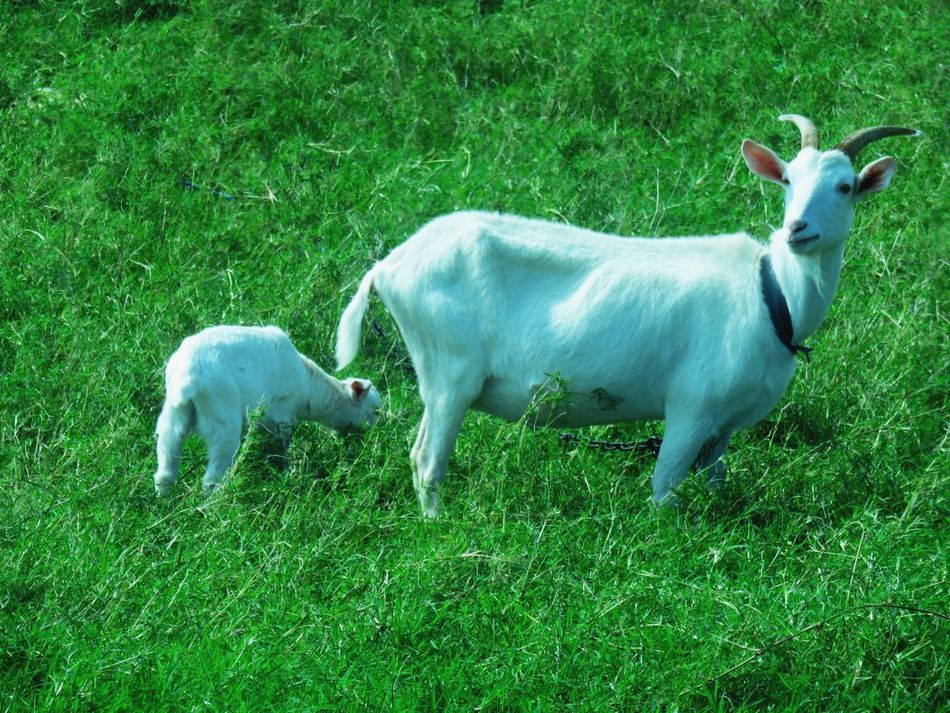 Grass Green Color Animal Themes Mammal No People Nature Outdoors Day Beauty In Nature Haterumajima Okinawa Nature Japan ASIA Goat Goats