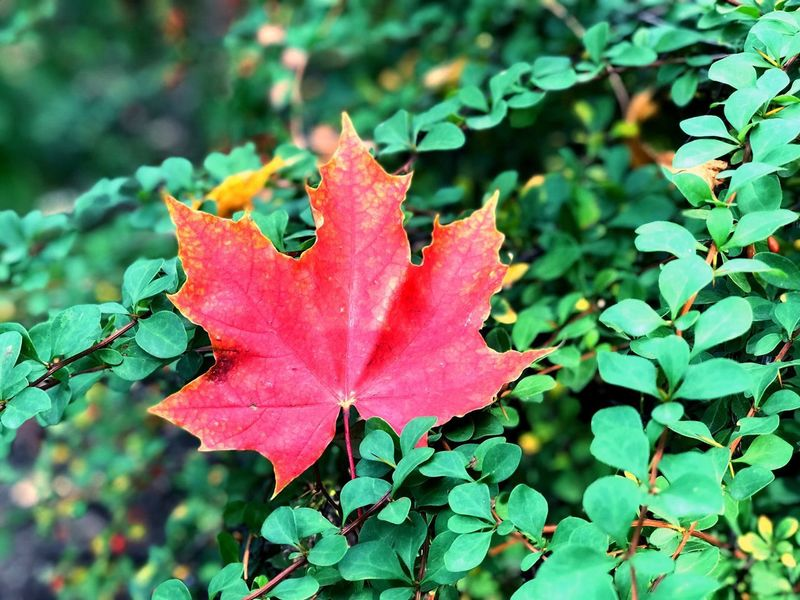 Leaf Change Autumn Nature Day Outdoors Growth Beauty In Nature Maple Maple Leaf No People Plant Close-up
