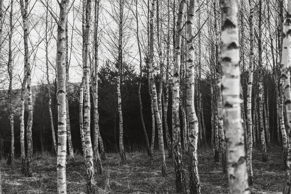 Nature B&W Collection Beauty In Nature Birch Tree Birches Blackandwhite Brzoza Day Growth Landscape Nature No People Outdoors Tree Trees WoodLand