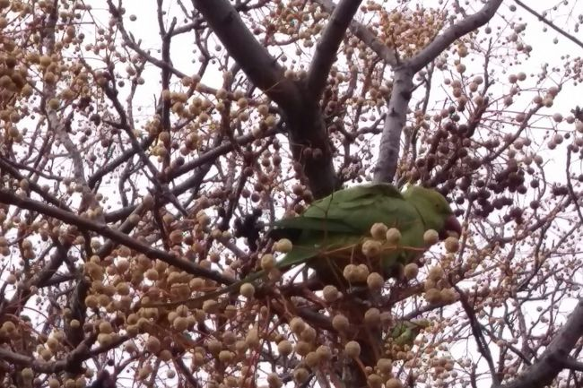 Parakeets in Athens