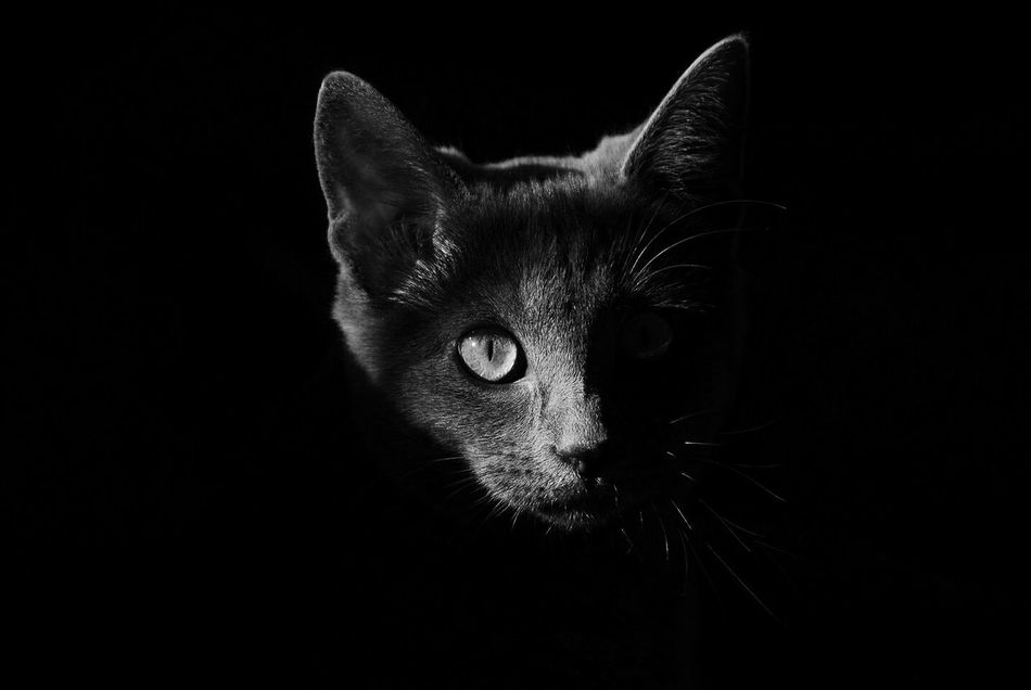 Beautiful stock photos of black background, Domestic Cat, alertness, animal, animal Body Part
