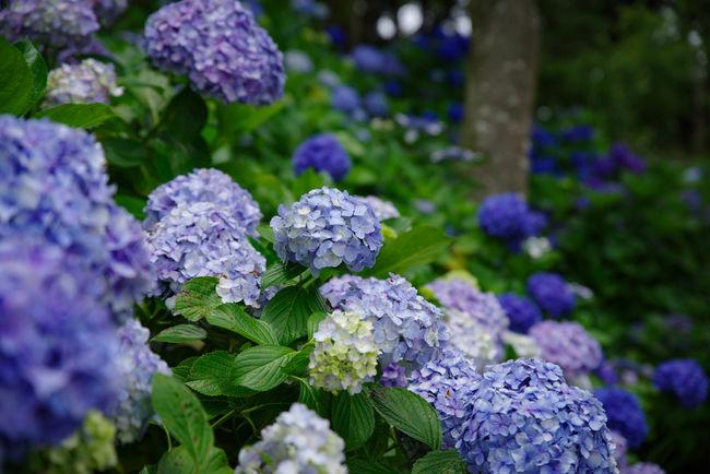 今日は近場であじさいを観に行ってきました♪ あじさいの杜 二本松寺 潮来市 紫陽花 あじさい Hydrangea Nature Nature Photography Flowers Flower Collection Flowerporn