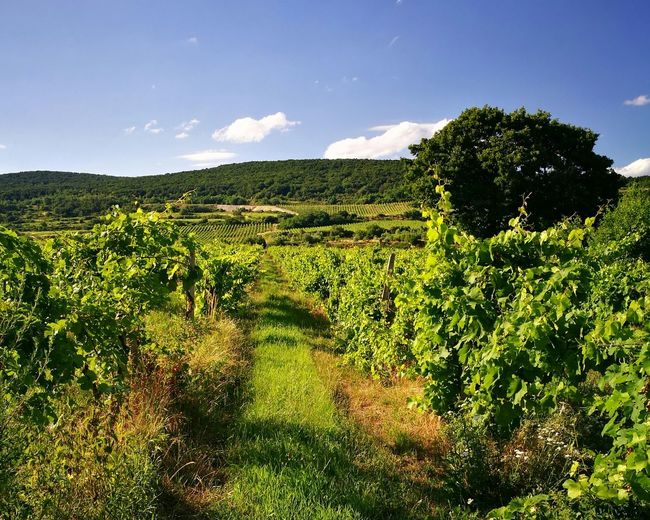 Wine Yards Landscape Landscapes Outdoor Photography Green Color Green Hills HuaweiP9 No People
