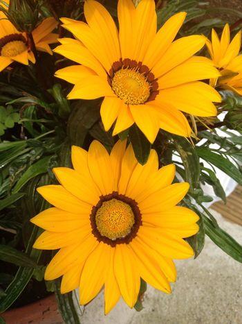 Flower Yellow Petal Flower Head Beauty In Nature No People Gazania Gazania Close-up IPhone Photography IPhoneography IPhone Flowers, Nature And Beauty Beauty In Nature Flowers,Plants & Garden Flowers Flower Collection Flower Photography Yellow Flower