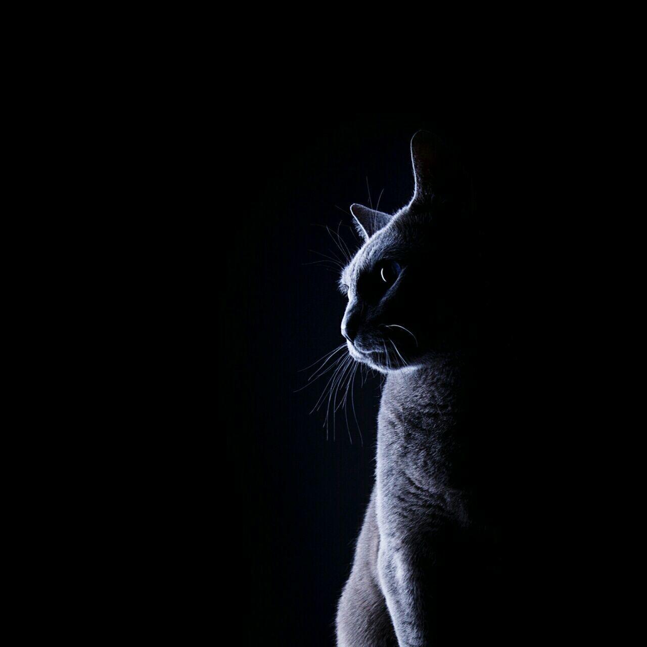 domestic cat, black background, pets, feline, one animal, domestic animals, animal themes, studio shot, dark, copy space, cat, whisker, animal head, sitting, mammal, no people, portrait, night, close-up, indoors, siamese cat