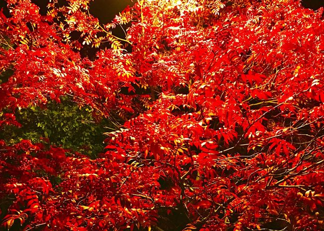 Red Red Leaves Fall Fall Colors Fall Leaves Autumn Autumn Colors Autumn Leaves Urban Nature Showcase: October Showcase: 2016 Light And Shadow Night Lights Night Shot Night View Night Scene Night Walk
