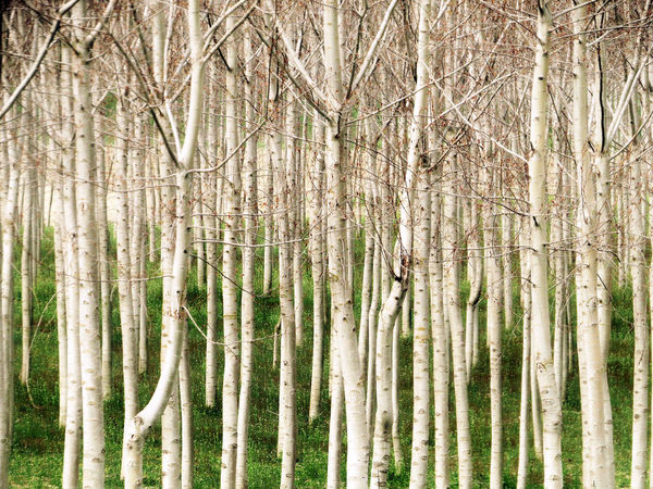 Beauty In Nature Growth March Showcase Outdoors Pattern Poplars Springtime Tree Line Tree Trunk White Bark WoodLand