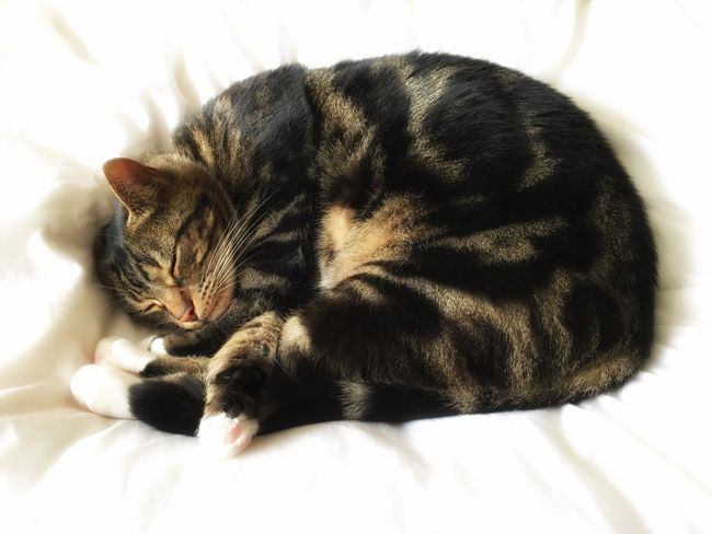 Cat Sleeping Asleep Tabby Tabby Cat White Background Quilt Curled Up Cat Relaxing Tranquil