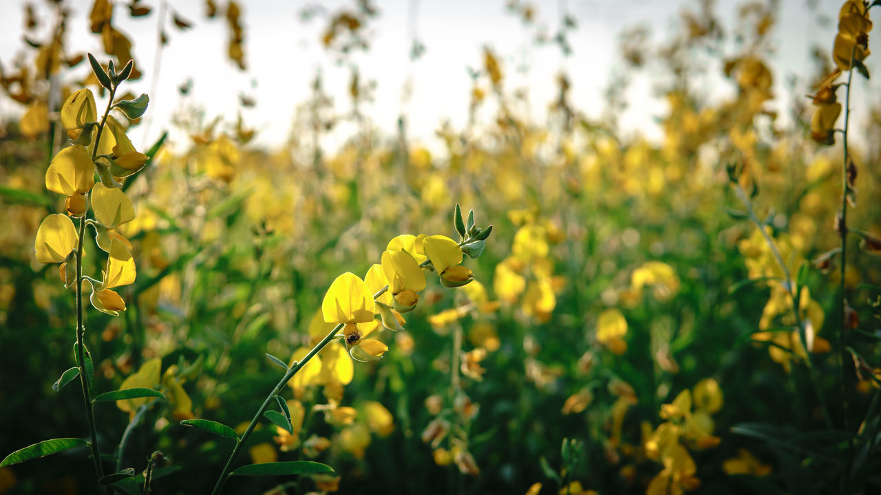 flower, yellow, nature, growth, plant, beauty in nature, oilseed rape, agriculture, fragility, petal, field, day, no people, outdoors, insect, one animal, animal themes, blooming, leaf, freshness, animals in the wild, mustard plant, flower head, bee, close-up
