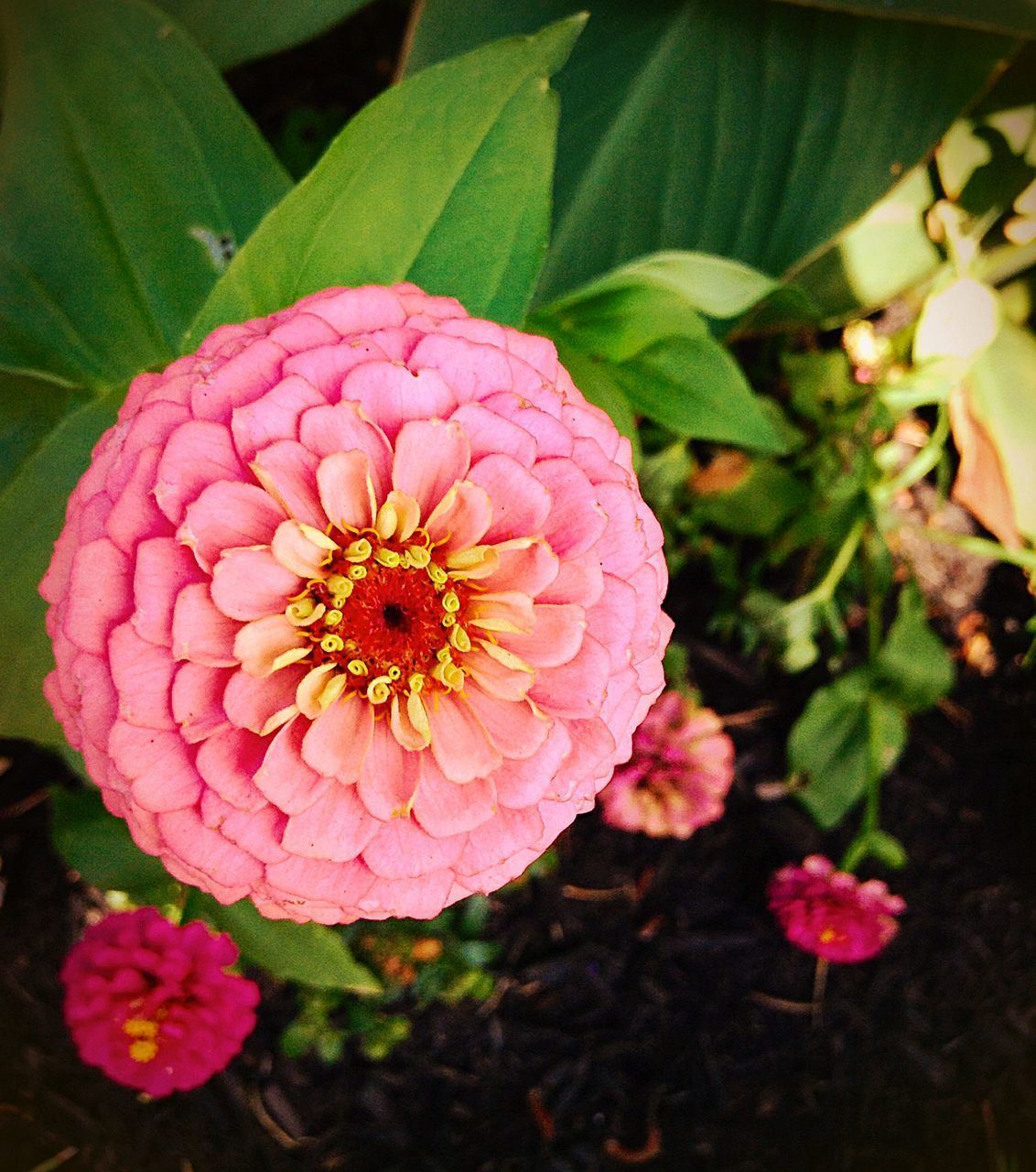 flower, petal, beauty in nature, nature, flower head, growth, fragility, freshness, pink color, plant, no people, blooming, outdoors, day, close-up, zinnia