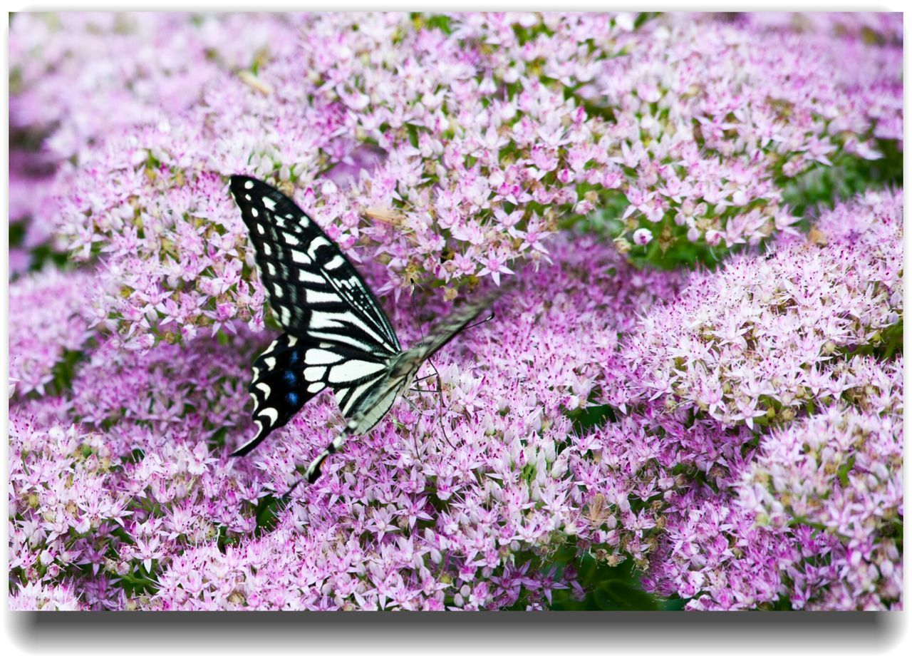 purple, flower, nature, butterfly - insect, insect, plant, fragility, lavender, beauty in nature, butterfly, no people, one animal, pink color, animals in the wild, animal themes, pollination, growth, freshness, close-up, outdoors, lilac, day, full length, flower head