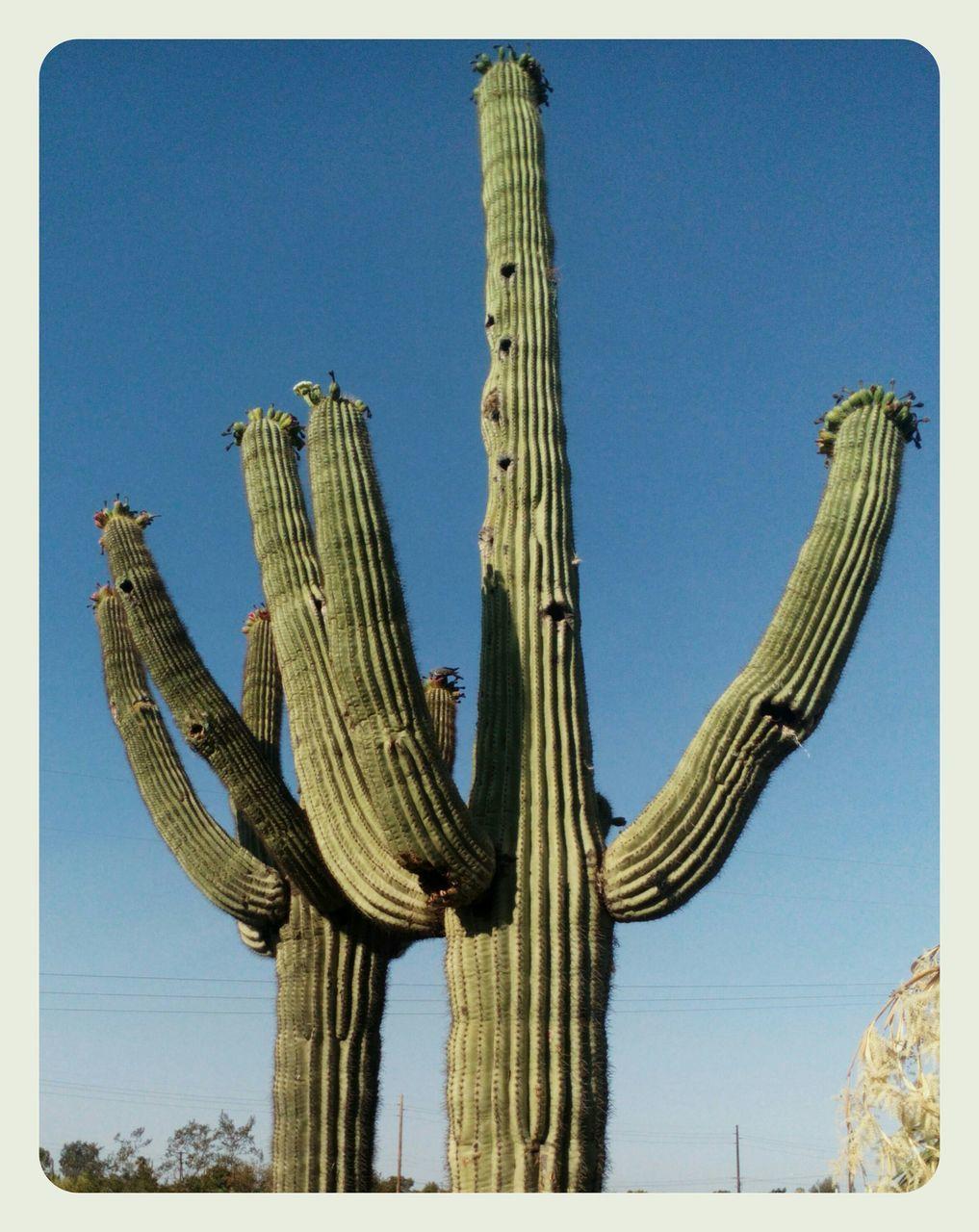 Cactus In Field