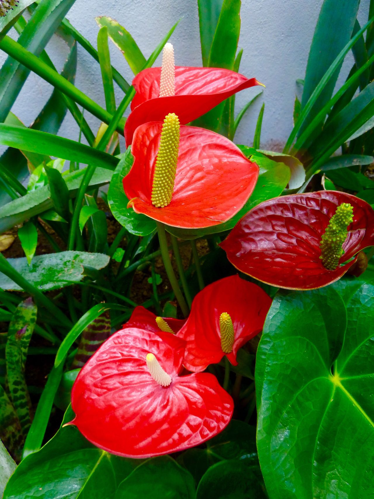 Anthurium Plants And Flowers Estepona Orchid House SPAIN