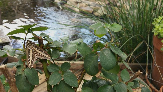 Moth Backyard Surprises Rosebush Friend Pond Moth Nightime Butterfly California