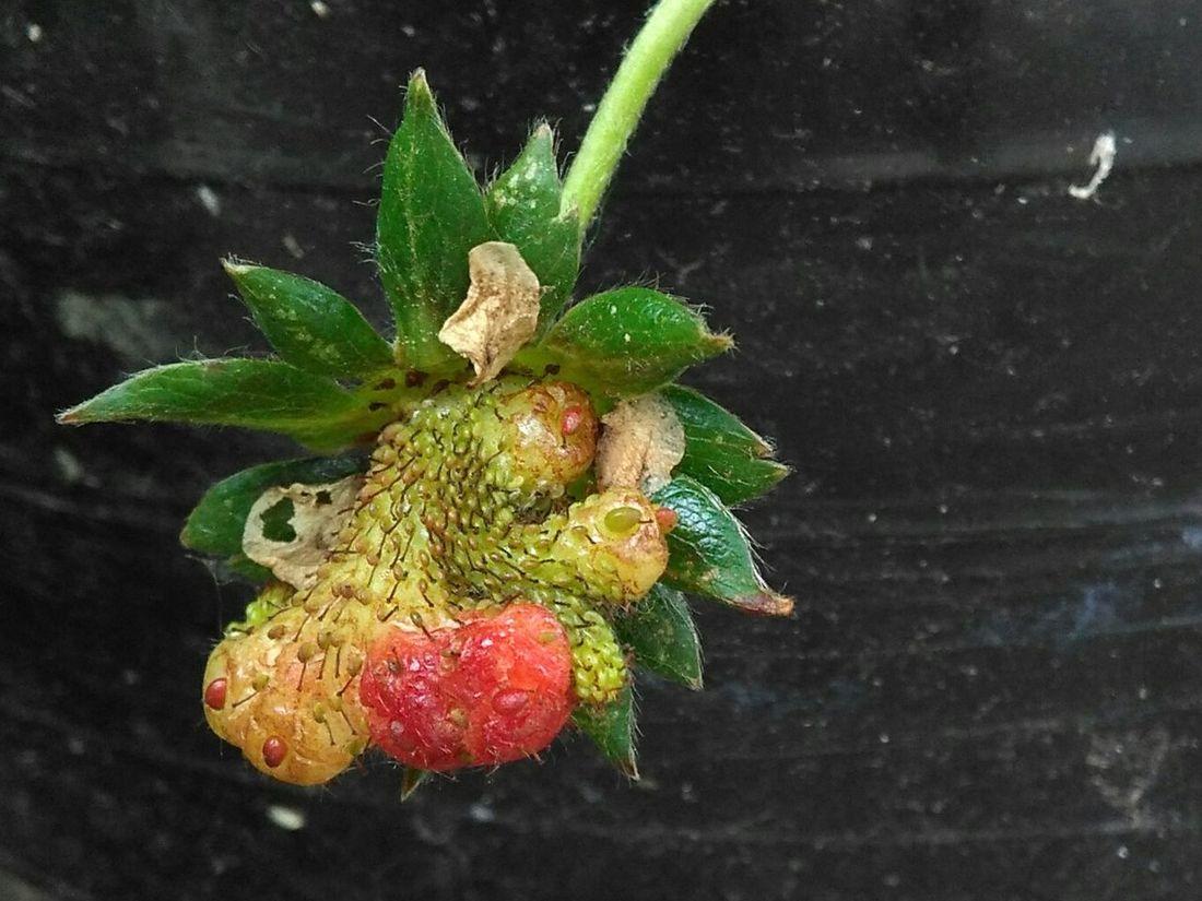 Mutated Weirdplants Strawberry Crazy Food My Allergy
