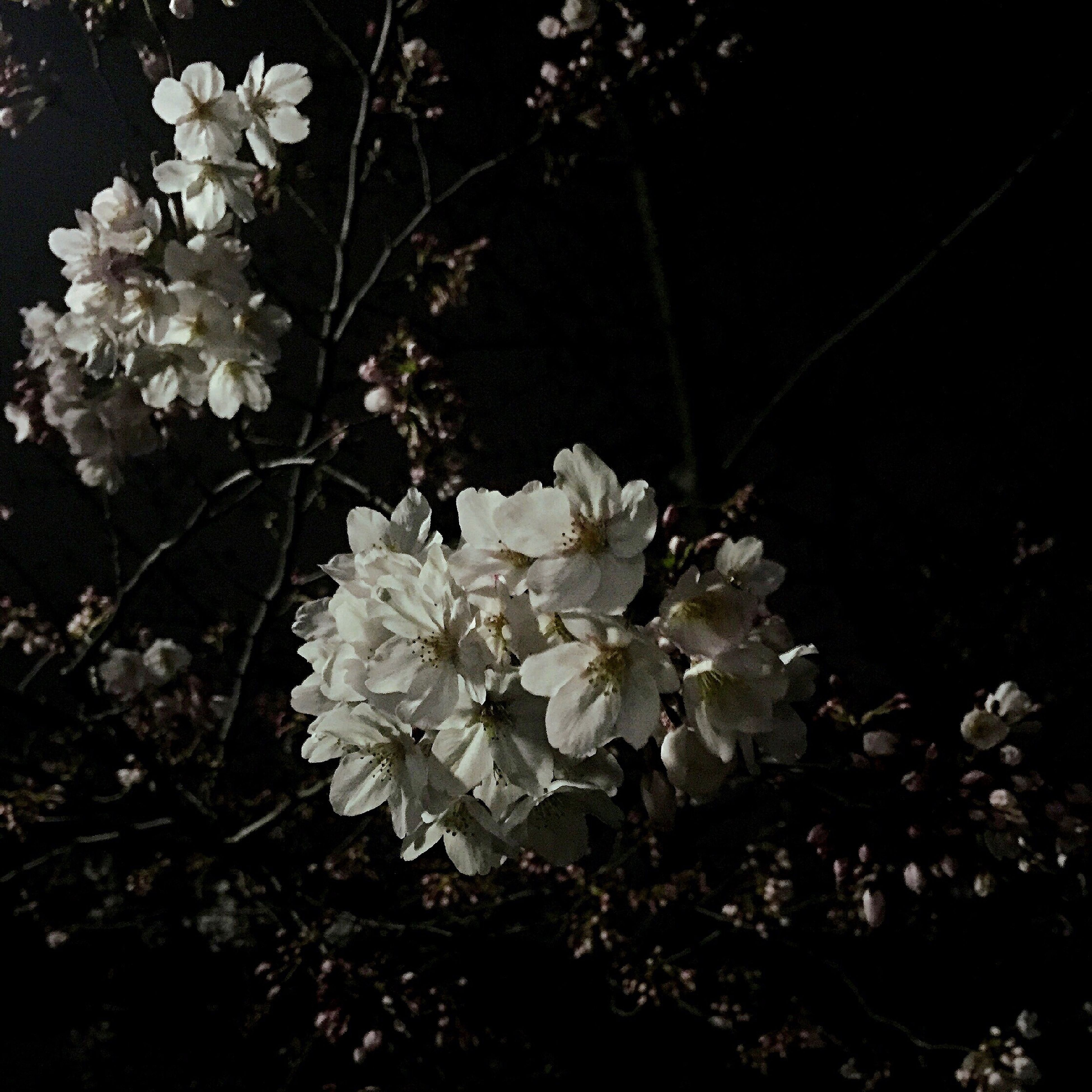 flower, freshness, growth, fragility, white color, petal, beauty in nature, branch, blossom, nature, tree, blooming, flower head, in bloom, plant, springtime, cherry blossom, close-up, twig, botany