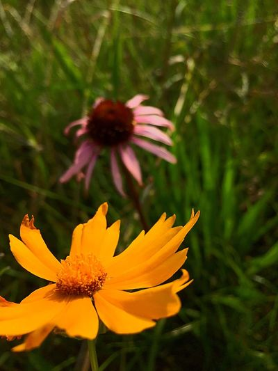 Coreopsis Flower Petal Growth Flower Head Fragility Nature Beauty In Nature Freshness Plant Outdoors No People Day Blooming Close-up Coneflower Missouri Native Glade Native Flowers Blooms Natural Area